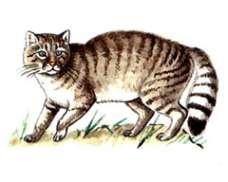 Кавказская лесная кошка – Красная книга – кратко описание, фото