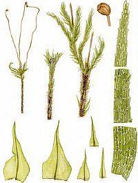 Филонотис бранденбургский – Красная книга – кратко описание, фото