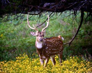 Пятнистый олень - краткое описание и фото - для детей