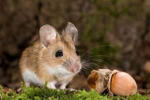 Лесная мышь - краткое описание и фото - для детей