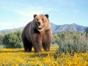 Бурый медведь - краткое описание и фото - для детей