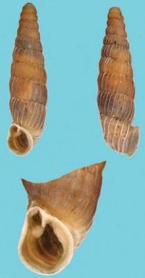 Микропонтика анны – Красная книга КК – кратко описание, фото