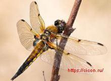 Четырехпятнистая стрекоза – Красная книга РО – кратко описание, фото