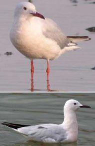 Морской голубок. – Красная книга КК – кратко описание, фото