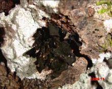 Лептогиум свинцовый (Псковской области) – Красная книга ПО – кратко описание, фото
