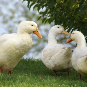Утка и гусь- краткое описание и фото - для детей