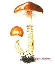 Лимацелла клейкая – Красная книга ЛО – кратко описание, фото