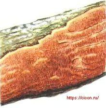 Церипориопсис смолянеющий – Красная книга ЛО – кратко описание, фото