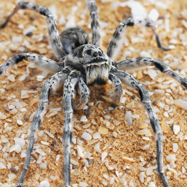 Южнорусский тарантул- краткое описание и фото - для детей