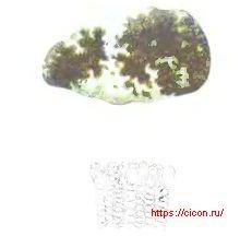 Псевдолитодерма слегка растянутая – Красная книга ЛО – кратко описание, фото