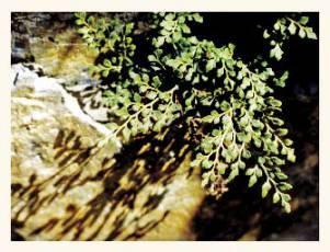 Костенец воронова – Красная книга КК – кратко описание, фото