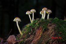 Список грибов, внесенных в Красную книгу Ленинградской области – Красная книга ЛО – кратко описание, фото