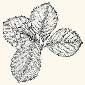 Рябина федорова – Красная книга КК – кратко описание, фото