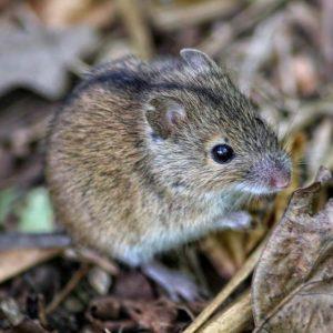 Полевая мышь- краткое описание и фото - для детей