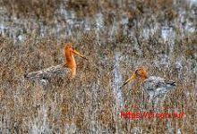 Большой веретенник – Красная книга РО – кратко описание, фото