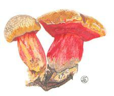 Масленок рубиновый, рубиноболетус – Красная книга АО – кратко описание, фото