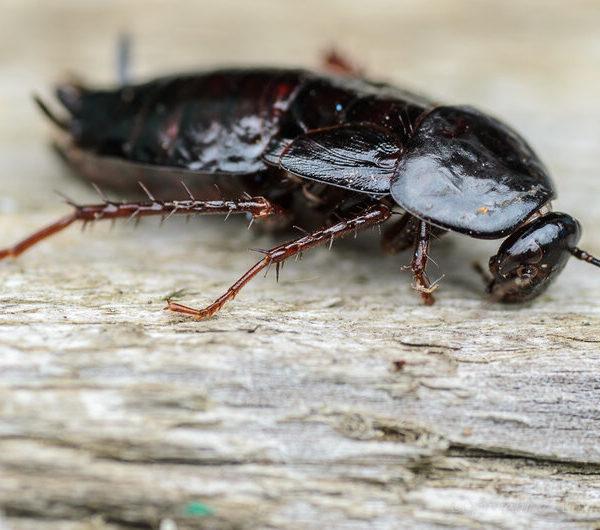 Таракан черный- краткое описание и фото - для детей