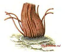 Стемонитис великолепный – Красная книга ЛО – кратко описание, фото