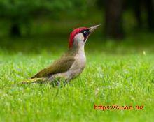 Зеленый дятел – Красная книга РО – кратко описание, фото