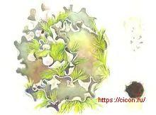 Пельтигера шероховатая – Красная книга ЛО – кратко описание, фото
