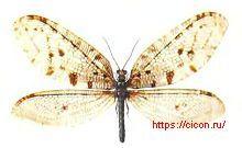 Осмил желтоголовый – Красная книга ЛО – кратко описание, фото