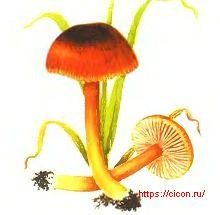 Псевдогигроцибе темно-алая – Красная книга ЛО – кратко описание, фото