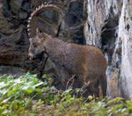 Козёл сибирский, или козёл горный, козерог – Красная книга КрК – кратко описание, фото