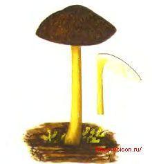 Плютей Ромелля – Красная книга ЛО – кратко описание, фото