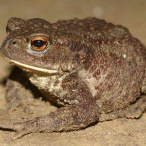 Жаба обыкновенная, или серая- краткое описание и фото - для детей