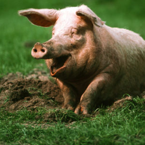 Свинья- краткое описание и фото - для детей