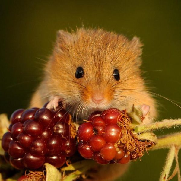 Мышь-малютка- краткое описание и фото - для детей
