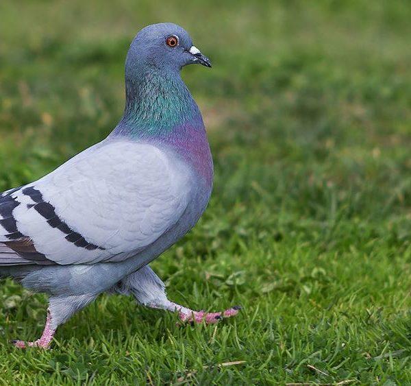 Сизый голубь- краткое описание и фото - для детей