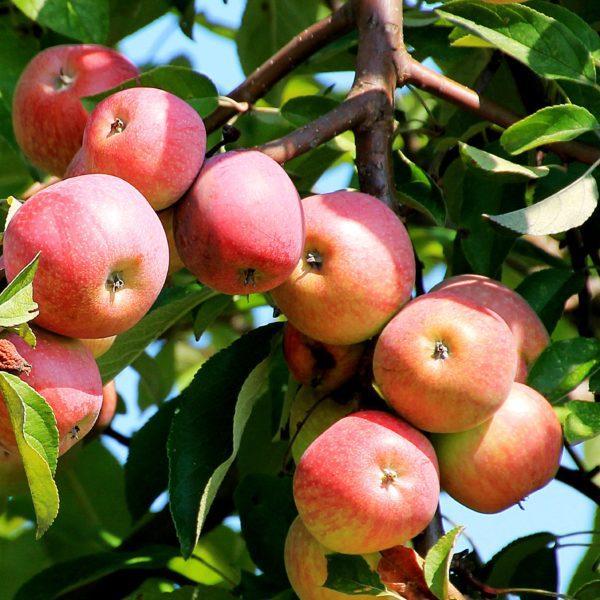Яблоня - краткое описание и фото для детей