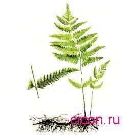 Телиптерис болотный – Красная книга СО – кратко описание, фото